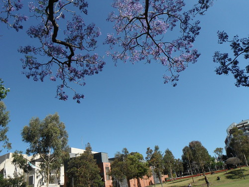 flowers blue trees sky green sydney australia nsw mauve surryhills jacarandatree harmonypark vision:outdoor=094 vision:sky=0962