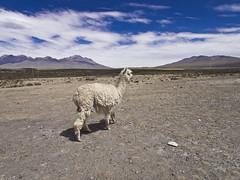Patahuasi (mardruck) Tags: travel vacation alpaca peru southamerica inca llama frias per latinoamerica 12mm 20 zuiko arequipa f20 m43 sudamrica camelid camelidos patahuasi auqunidos microfourthirds olympuspenep3 aunquedos
