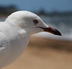 the gull (5) (bertknot) Tags: seagulls seagull gull gulls mwe gaviota meeuw meeuwen gabbiano gaivota goland ms lokki zeemeeuw mge zeemeeuwen mewa sirly dalg   diemwe mouettedupegolandgolandbeccerclgolandargentgolandcendrgolandmarinmouetterieuse zeemeeuwenmeeuw