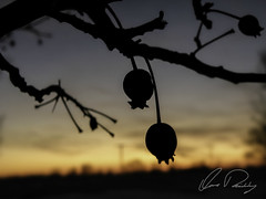 Fruitful (IRick Photography) Tags: trees sunset sun tree silhouette set fruit berry branch berries branches country setting fruitful