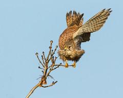 Kestrel (Andrew Haynes Wildlife Images) Tags: