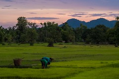People working in the rice fields (Kuba Abramowicz) Tags: world travel light sky people cloud color colour green nature colors field clouds work asian outdoors lights twilight asia colours fuji rice outdoor dusk working scenic east finepix vista fields fujifilm peop southeast laos eastern x10 southeastern abramowicz vision:sunset=0554 vision:mountain=0852 vision:outdoor=099 vision:sky=094 vision:clouds=0832