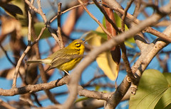Moving through the branches (amataiclaudius) Tags: jamaica prairie warbler hopegardens