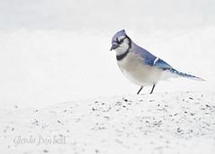 Seriously? (glenda.suebee) Tags: winter ohio snow ice birds bluejay february 2014 ohiofoothills glendaborchelt