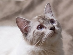 sparkle (Noah LaVau) Tags: blue cats cute cat mix blueeyes adorable kitty mainecoon kitties ragdoll