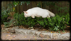 Pounce (Craig Jewell Photography) Tags: pet white cute cat iso3200 50mm flying spring jump bush kitten fluffy australia floppy pounce f28 ragdoll 2014 flamepoint ef50mmf14usm ¹⁄₁₂₅₀sec ‒⅓ev canoneos1dmarkiv filename20140108131132x0k0001cr2