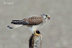 Kestrel (Falco tinnunculus) Wild not Captive (Col-Page) Tags: