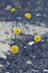 taraxacum officinale (missluxlisbon) Tags: street urban kids canon vintage eos freedom soft alone loneliness sweet bokeh pastel lisbon softness streetphotography pale retro nostalgia 7d lonely soledad sweetness lux tender tenderness longing nostalgie shiver freemind urbanlife lowfi indiegirl freepeople coolkids fauxvintage whisperer wishper indiekids fakevintage urbanlifestyle freesoul hilow vintagefeel luxlisbon canoneos7d indiemoment luxlisbonmiscellaneous homesikness