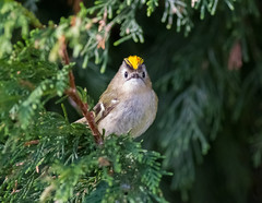 Goldcrest 'Regulus regulus' 19.04.2014 (Cliff Watkinson) Tags: goldcrest