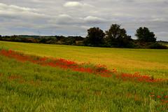 Camps, paisatge de l'Ametlla de Segarra. (Angela Llop) Tags: landscape spain eu catalonia poppies lasegarra lametlladesegarra wlees510254