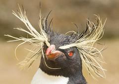 Rockhopper Penguin (Debshaynes) Tags: portrait penguin rockhopper badhairday rockhopperpenguin happyfeet edinburghzoo