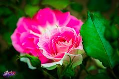 Rose \  (andreyalpha) Tags: pink flowers color detail green nature ecology beauty rose garden spring backyard colorful purple bright earth sony ukraine environment kharkov kharkiv        slta37