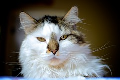 cat (daft pupil) Tags: portrait animal cat 35mm nikon feline nikkor pracchia 35mm18 d5100 nikond5100 daftpupil