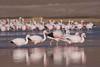 Flamencos (ik_kil) Tags: chile birds de la tres nacional chileanflamingo flamencochileno phoenicoparruschilensis flamingophoenicoparrus andinoparina grandeandean andinusflamenco punaparina chicapuna jamesiparque crucesnevado crucesregión atacamaaves flamingosflamenco