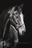 Chief (purple horse designs) Tags: portrait blackandwhite horse canon equestrian equine