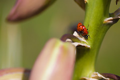 Get a Room... (Universal Stopping Point) Tags: plant flower sex mating ladybugs stalk yucca