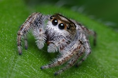 Another Unknown Beauty (Doundounba) Tags: macro topf25 spider montral pentax qubec jumpingspider araigne k3 salticidae dcr250 raynox salticide 01f tamronadaptallsp90mmf25macro erismilitaris 52bb parcnatureduboisdeliesse tamronadaptallsp2xteleconverter 35ormorefaves