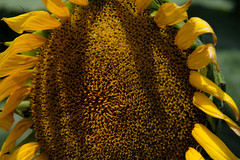 Seedy (TPorter2006) Tags: brown flower field yellow golden texas july sunflower hillsboro 2015 aquilla tporter2006