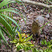 Capybara Gamboa Wildlife Rescue pandemonio 2017 - 06