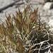 eyelash grass, Blepharidachne kingii