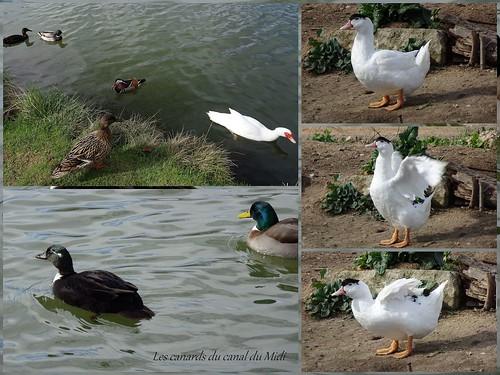 Les canards du canal