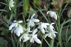 snowdrop #2 (streetr's_flickr) Tags: snowdrops springflowers garden flowercloseups hertfordshire stalbans