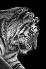 Siberan tiger Dartmoor Zoo (paulbnashphotography.com - Sharpe Shooter) Tags: siberian tiger big cat cats carnivore meat eater zoo zoology zoological park dartmoor animal black background white