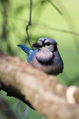 IMG_7581 (Cog2012) Tags: birds bluejay