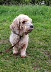 Mattie (Ali Wood 63) Tags: dog mattie basset petit griffon vendeen