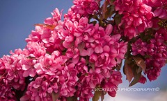 Smiling Pinks! (Vicki Lund Photography) Tags: pink flowers blue trees sky usa tourism nature colors beautiful blessings landscapes spring nikon artist raw dof fineart maine newengland naturallight tourists thankful northamerica eastcoast freelance countryroads freelancephotographer d90 followthelight 2013 maineartist fineartprints lewistonauburn travelphotographer mainephotographer colorsnatural depth~of~field wwwvickilundphotographycom httponfbmevickilundphotographywelcome mainegov vickilund