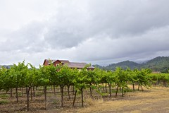 Rainy Day in Napa (meckert75) Tags: california clouds vines day cloudy grapes napa