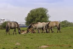 _DSC8504 (Erik van Doormalen) Tags: inspiration wilde group paarden wildernis konikhorses theinspirationgroup