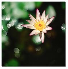Lotus (smadalin2012) Tags: flowers film lotus kodak 100mm hasselblad scanned e100vs 10025 cooke dfp hasselblad203fe