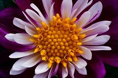 Dahlia - Becky (Paul Sibley) Tags: flower photoaday nikond60 2013inphotos
