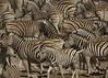 "Zebras (susan yeomans) Tags: africa canon mammal safari national 7d zebra namibia park"" etosha ""canon etoshanationalpark 7d"" mygearandme mygearandmepremium mygearandmebronze mygearandmesilver mygearandmegold mygearandmeplatinum mygearandmediamond ""etosha photographyforrecreation vpu3 vpu6"