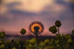 Dandelion sunset (kidda63) Tags: