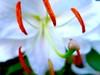 Lilium 'Casa Blanca': 百合花 (love_child_kyoto) Tags: summer flower macro nature kyoto lily 京都 花 夏 自然 マクロ 百合 ユリ liliumcasablanca 百合花 ネイチャー masterphotos artisticflowers カサブランカ ヤマユリ mindigtopponalwaysontop マスター写真 leicadlux5 ライカdlux5 takenwithhardwork lovelynewflickr jul182013 オリエンタルハイブリッド ユリの女王