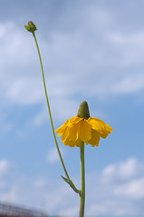 Rudbeckia maxima (Eric Hunt.) Tags: flower yellow rudbeckia asteraceae rudbeckiamaxima greatconeflower