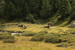 Khe ( Kuh - Cow ) am Berninapass im Engadin im Kanton Graubnden - Grischun der Schweiz (chrchr_75) Tags: schweiz switzerland kuh cow suisse suiza swiss august ku ko sua christoph svizzera mucca khe sveits vache vaca koe sviss  zwitserland lehm sveitsi suissa graubnden chrigu szwajcaria  2013 grischun kr chrchr hurni kantongraubnden chrchr75 chriguhurni albumgraubnden chriguhurnibluemailch albumkheinderschweiz hurni130830 albumzzzz130830ausfluggletschermhlencavaglia