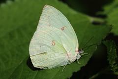 Catopsilia pomona (male, form pomona) 遷粉蝶 (雄 銀紋型)
