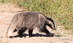 Mladi jazbec (natalija2006) Tags: nature wildlife slovenia badger slovenija carnivora melesmeles narava zveri jazbec
