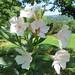 Au jardin, laurier en fleur, Bosdarros, Béarn, Pyrénées Atlantiques, Aquitaine, France.