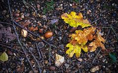 IMGP1218(CFX) (Mat W) Tags: november autumn leaves ground richmond acorns richmondpark isabellaplantation 2013 colorefexpro