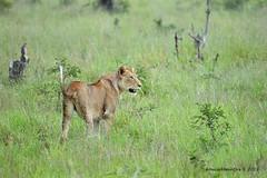 DSC_2845 (Arno Meintjes Wildlife) Tags: africa animal southafrica wildlife lion safari bigcat predator krugerpark big5 pantheraleo parkstock arnomeintjes