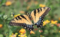 Tiger Swallowtail (DrPhotoMoto) Tags: blue orange black yellow butterfly northcarolina lantana swallowtail tigerswallowtail richmondcounty papilioglaucus eyespot richmondcoutny
