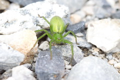 Green Spider (Colin Hodges) Tags: green spider