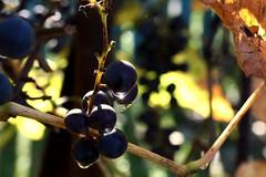 Farewell,  Autumn! :)) (halina.reshetova) Tags: november blue autumn light white reflection green nature leaves canon leaf drops berries bokeh gray violet drop sparkle grapes autofocus canoneos1000d 311113