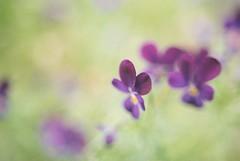 (_kaochan) Tags: flowers film 35mm nikon fuji 400 135 nikonfe 135film