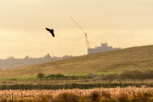 Marsh Harrier Silhouette