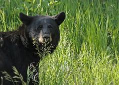 Black Bear... #27 (Guy Lichter Photography - Thank you for 2.5M views) Tags: canada animal animals canon wildlife bears manitoba mammals ridingmountainnationalpark canon14xteleconverter canon70200mmf4l bearblack 5d3 amazingwildlifephotography